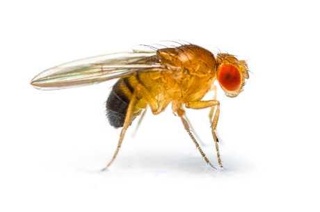 Bananflue (Drosophila melanogaster)