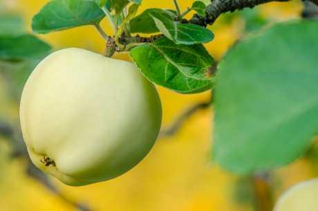 Frukttrær kan få bladlus