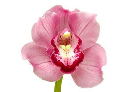 Orkide kan angripes av bladlus