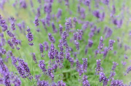 Lavendel mot brannsår