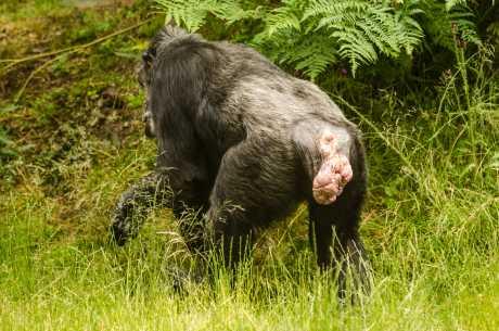 Hemorroider hos ape